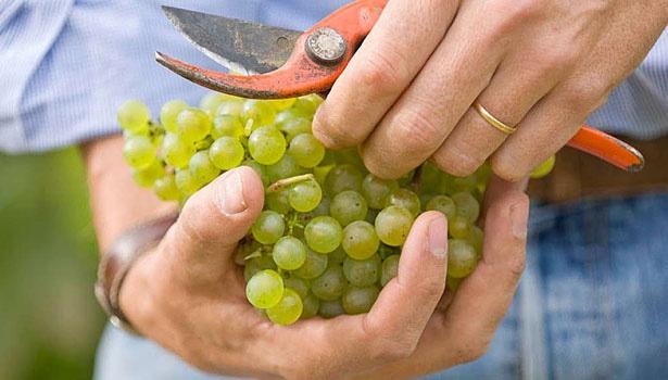Wijnverhaal Domaine du Cedre Dore Chablis - 2