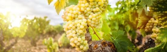 Witte wijn druiven